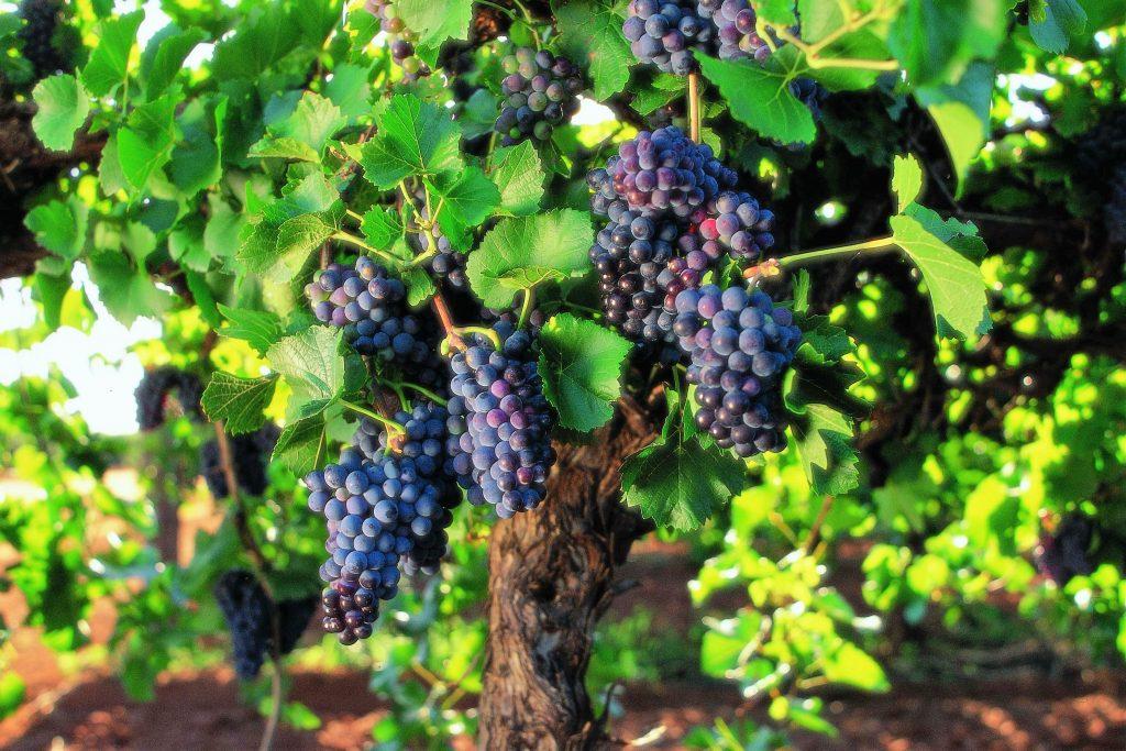 Distalnet Syrah chardonnay riesling pinot noir chenin blanc catas de vino