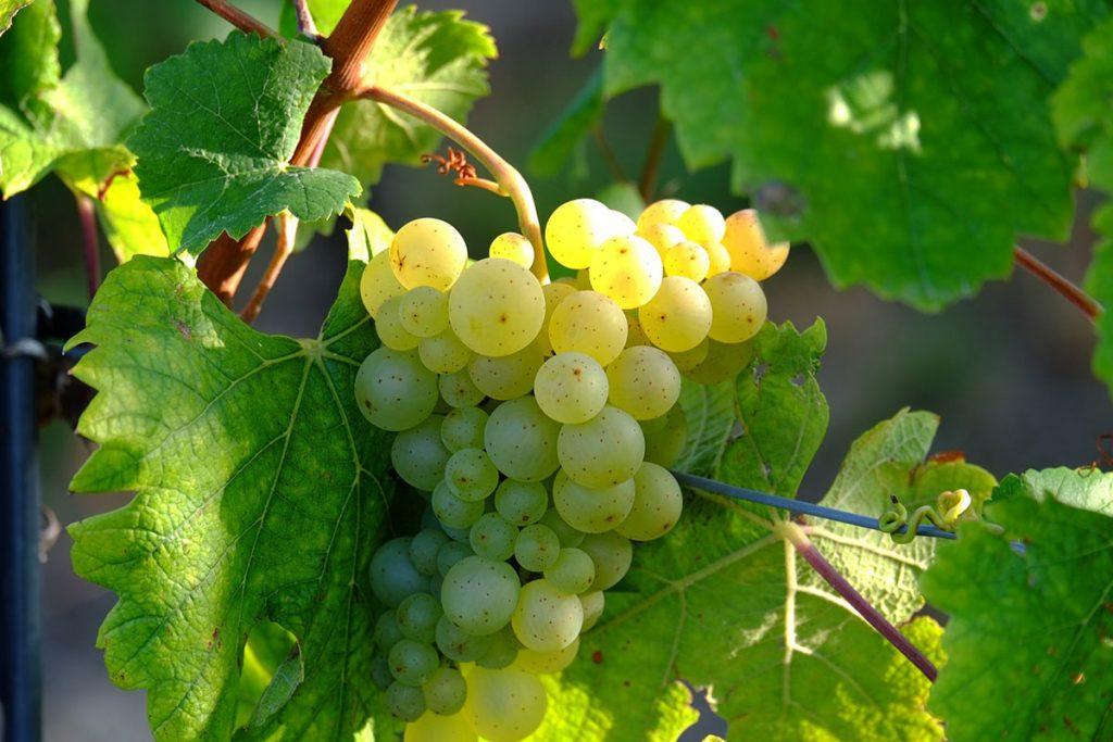 sauvignon blanc catas de vino distalnet
